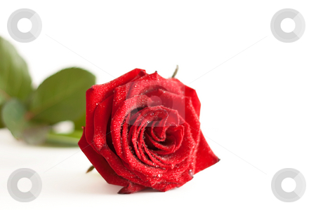 A red rose with water drops stock photo, A red rose with water drops isolated on white background by Alexander Zschach