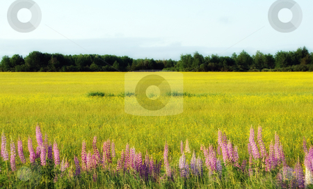 Wild Lupines stock photo, Wild lupines growing in a beside a cultivated field by Alain Turgeon