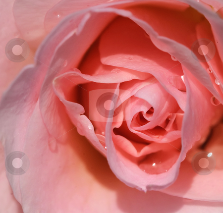 Rose stock photo, Closeup picture of a pink rose with some water droplets by Alain Turgeon