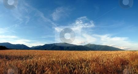 Panorama of ripe corn field stock photo, Panorama of ripe corn field in summer day with blue sky by Juraj Kovacik