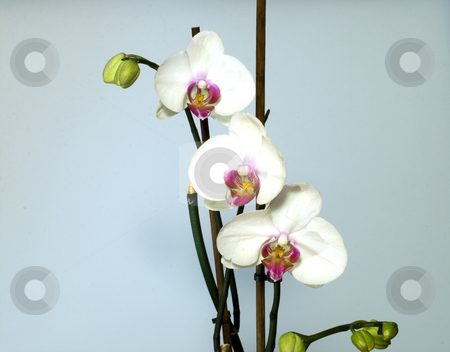 Orchids stock photo, Three orchids in order, light blue background by Fabio Alcini