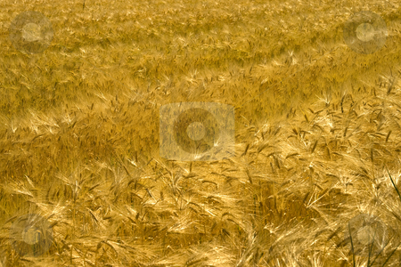 Wheat stock photo, View of a field of golden wheat by Fabio Alcini