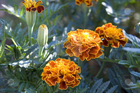 Flowers in garden stock photo, Flowers in garden by Minka Ruskova-Stefanova