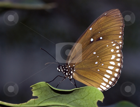 Butterfly stock photo, Butterfly on a green leaf in the butterfly garden by Chris Willemsen