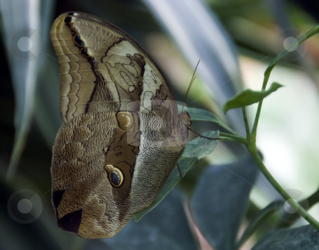 Butterfly stock photo, Beautiful   owl butterfly on a leaf in the butterfly garden by Chris Willemsen