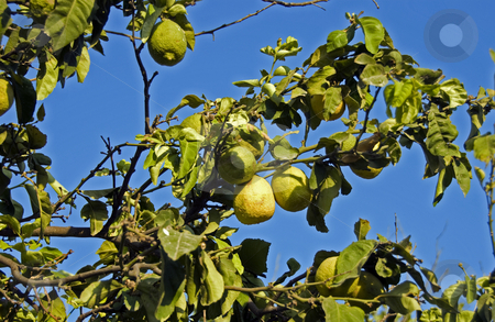 Citrus stock photo, Citrus tree on the island Rhodos in greece by Chris Willemsen