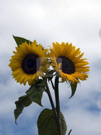 Sunflower against the blue sky stock photo, Sunflower against the blue sky and white clouds by Chris Willemsen