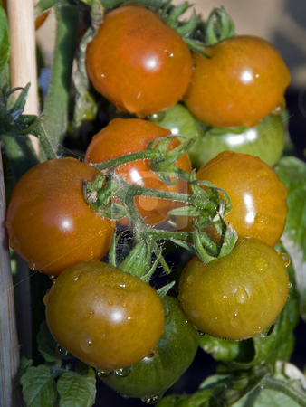 Tomatoes stock photo, Natural wet cherry tomatoes growing outside by Chris Willemsen