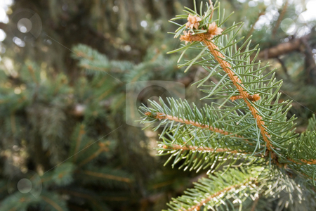 Pine branch stock photo, Pine branch by Minka Ruskova-Stefanova