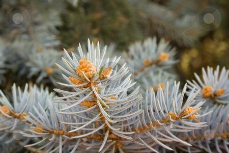 Pine branch stock photo, Pine branch by Minka Ruskova-Stefanova