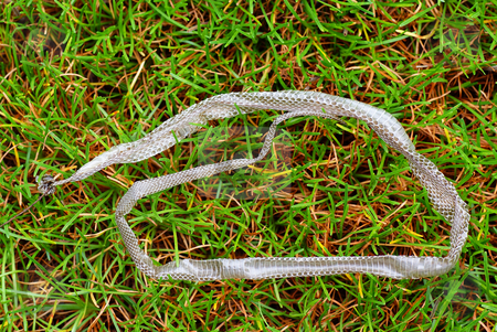 Snake skin stock photo, Slough of grass-snake lies on the grass by Jolanta Dabrowska