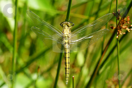Dragonfly stock photo, Big dragonfly siting on the green grass by Jolanta Dabrowska