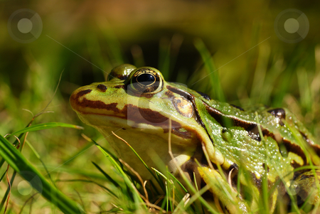Frog stock photo, Big green frog sitting on grass by Jolanta Dabrowska