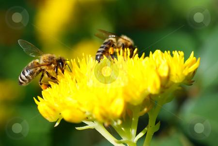 Bee stock photo, Honeybee collecting nectar of flower in garden by Jolanta Dabrowska