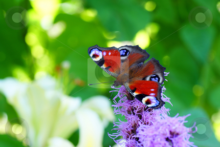 Butterfly stock photo, Colourful butterfly sit on purple flower by Jolanta Dabrowska