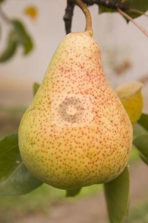 Pear stock photo, Fresh pear on the tree by Minka Ruskova-Stefanova
