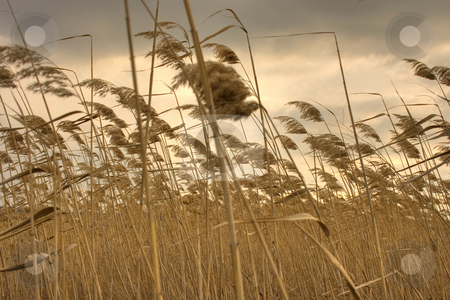 The wind stock photo, Dry reed bends under the wind with gray cloudy sky by Minka Ruskova-Stefanova