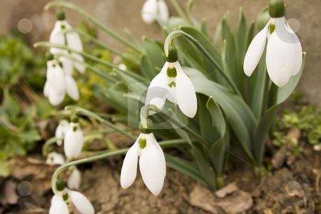 Snowdrop stock photo, Snowdrop by Minka Ruskova-Stefanova