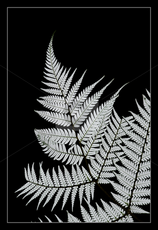 Silver fern stock photo, An icon of New Zealand the Silver fern is worn on every New Zealand Sporting team and its use is synonymous with the might All Black Rugby team - the most winning side ever in the history of the game. by Robin Ducker