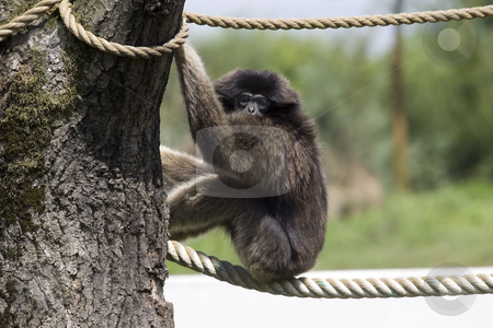 Gibbon stock photo, Gibbon sitting on a rope and looking over its shoulder by Inge Schepers