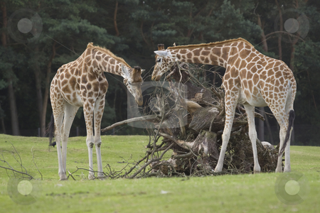 Rothschild Giraffes stock photo, Two Rothschild giraffes are examining a dead tree trunk by Inge Schepers