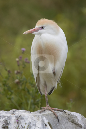 Cattle Egret stock photo, Cattle egret standing on a flat stone by Inge Schepers