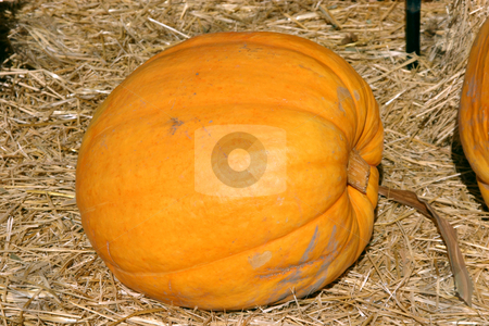 Up Close - Pumpkin stock photo, Close up on a Single Pumpkin by Mehmet Dilsiz