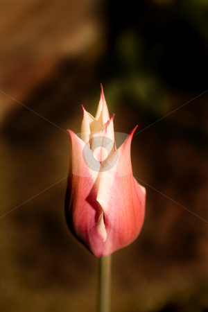 Tulip in the Garden stock photo, Close up on a Tulip in the Garden by Mehmet Dilsiz