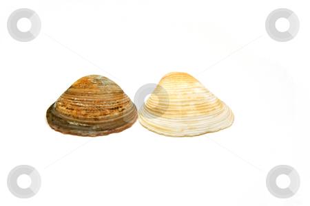 Seashells Side by Side stock photo, Two Seashells side by side by Mehmet Dilsiz