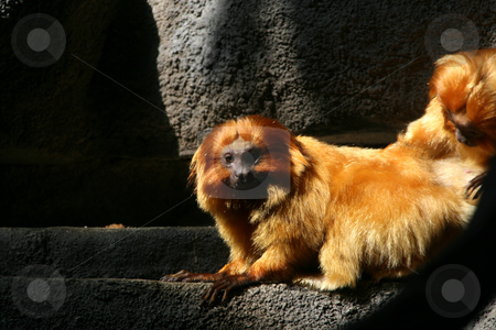 Grooming stock photo, One Monkey Grooming Another by Mehmet Dilsiz