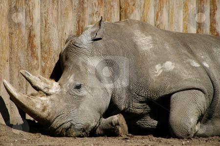 Hippopotamus Sleeping stock photo, Hippo sleeping laying down by Mehmet Dilsiz