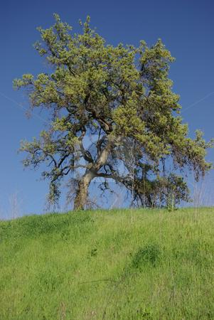 Oak Tree on a Grassy Hill stock photo,  by Kristine Keller