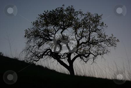 Oak Silhouette 2 stock photo,  by Kristine Keller