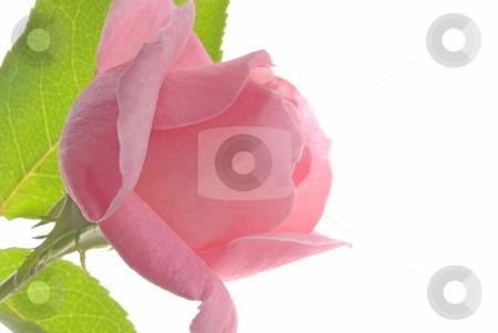 Pink Rose, White Background 3 stock photo,  by Kristine Keller