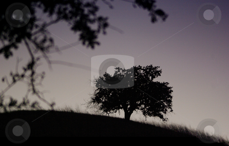 Oak Silhouettes stock photo,  by Kristine Keller
