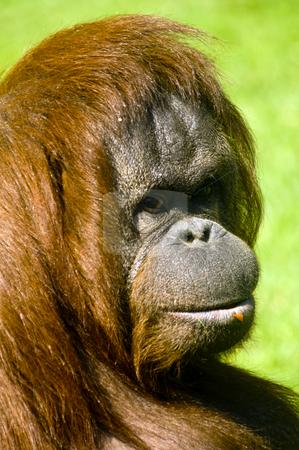 Female Orangutan stock photo, Female Orangutan (Pongo pygmaeus)  - portrait orientation by Stephen Meese