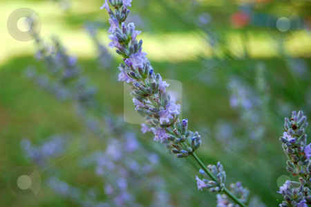 Lavender flower stock photo, Lavender flower closeup in soft focus by ALESSANDRO TERMIGNONE