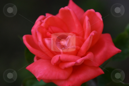 Red Rose stock photo, Red Rose Close Up by Mehmet Dilsiz