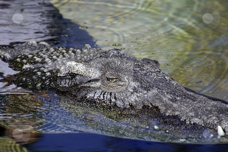 Close up on an Alligator stock photo,  by Mehmet Dilsiz