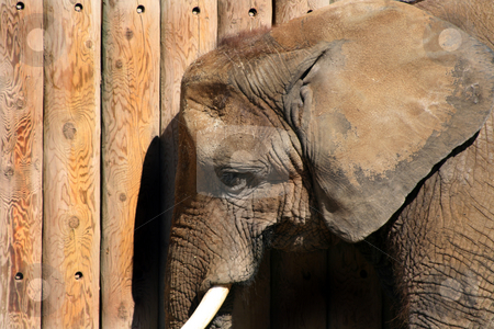 Close up on an Elephant stock photo, Close up on an elephant by the wooden fence by Mehmet Dilsiz