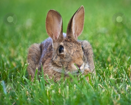 Brown Rabbit stock photo, Wild rabbit lying in the grass by Bill Fehr
