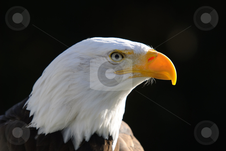 Bald Eagle stock photo, Close-up portrait of an American Bald Eagle on a sunny day by Alain Turgeon
