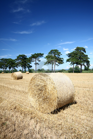 Hay bales  stock photo, Hay bales and Douglas pine by Istv??n Cs??k