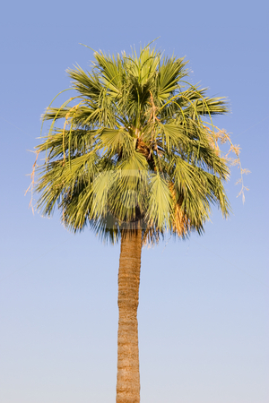 Palm Tree stock photo, Single Palm Tree by Mehmet Dilsiz