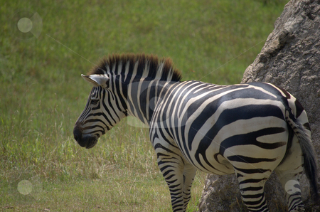 Zebra grazing stock photo,  by Heather Shelley