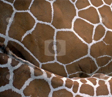 Giraffes up close stock photo,  by Heather Shelley