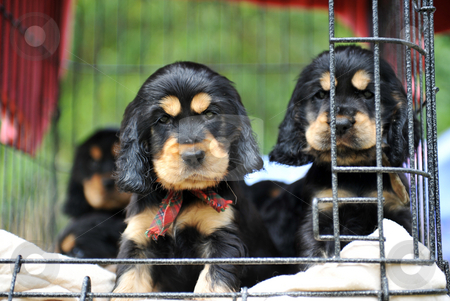 Puppies cockers spaniel stock photo, Cute puppies purebred cocker spaniel waiting their owner by Bonzami Emmanuelle