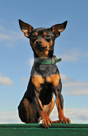 Miniature pinscher stock photo, Portrait of a purebred miniature pinscher in a blue sky by Bonzami Emmanuelle