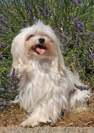 Maltese dog stock photo, Portrait of a cute maltese dog in front of lavender by Bonzami Emmanuelle