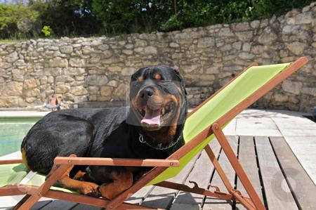Rottweiler on a transat stock photo, A rottweiler take a sun bath on a transat near a swimming pool by Bonzami Emmanuelle